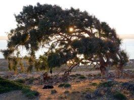 arbre remarquable Makronissos